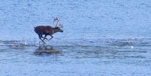 reindeer-1904437_1280